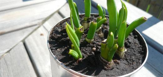 green_onions01