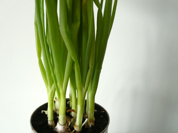 green_onions07