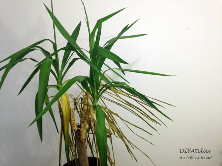 yucca02